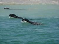 Seals Around Monomoy Island