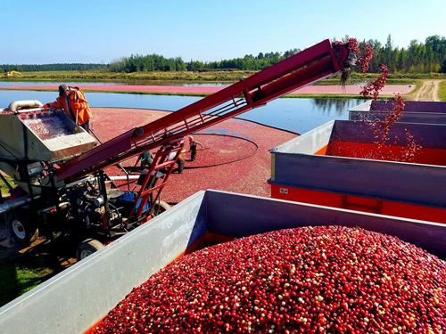 Harvesting the Cranberries