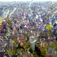 Ice helps keep the cranberries protected until harvest.