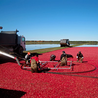 Cranberry beds are flooded for harvest.