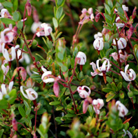 Cranberry plants in bloom.