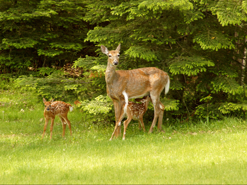 Family of Whitetail Deer