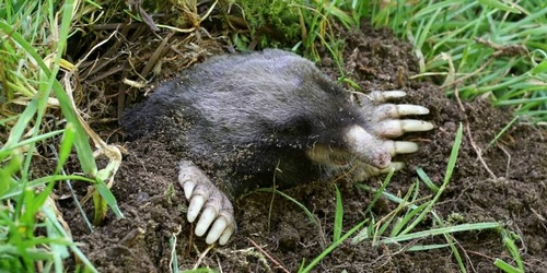 Take back your lawn with our mole control solution