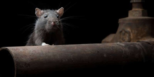 Get rid of mice and rats and prevent them from coming back