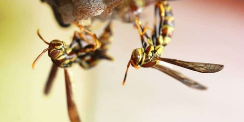 Safe wasp nest removal