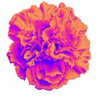 Tewksbury Carnation