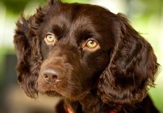 r d boykin spaniels breeders pet care boarding pets