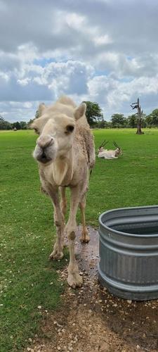 Gallery Image Camel.jpg