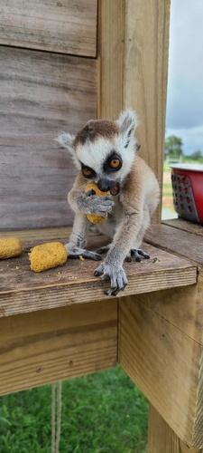 Gallery Image Lemur.jpg