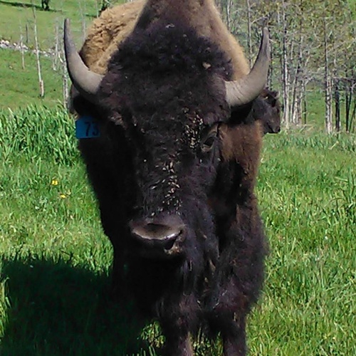 Gallery Image bison2_080720-124105.jpg