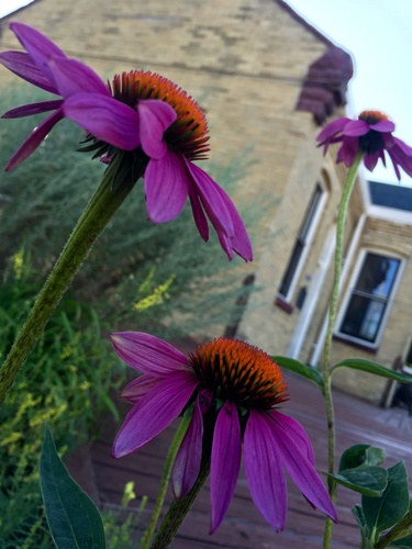 Echinacea in front of the Keepers Depot (photo by Erica Volkir)