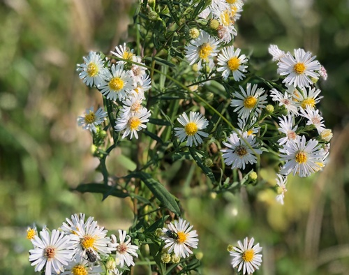 Asters along Casey Jones State Trail - Pipestone Segment - Photo by Erica Volkir