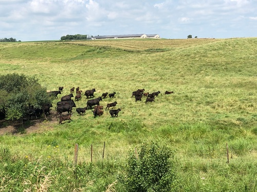 Cattle along Casey Jones State Trail - Pipestone Segment - Photo by Tom Steffes