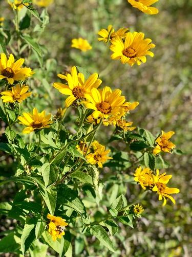 Prairie Flowers along Casey Jones State Trail - Pipestone Segment - Photo by Erica Volkir