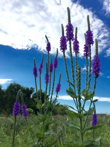 Blazing Star Along Circle Trail - Photo by Erica Volkir