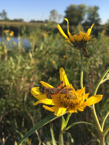 Grasshopper on Sunflower along Circle Trail - Photo by Erica Volkir