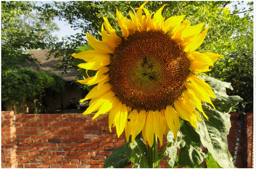 Gallery Image City%209%20Sunflower_290719-065935.PNG