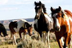 Red Canyon Wild Mustang Tours