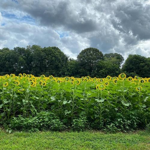 Gallery Image Sunflowers.jpg