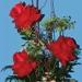 Rona's Flowers