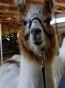 lamas, cows, sheep, pigs, chickens, rabbits many many more animals