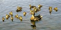 Gallery Image duck%20and%20ducklings.jpg
