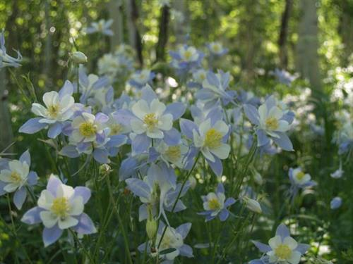 Gallery Image Columbine on Woods Walk.JPG