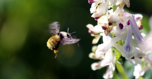 Gallery Image Gothic%20PG6-Bombus-and-Corydalis.-Photo-by-Jimmy-Lee.-960x500_c.jpg