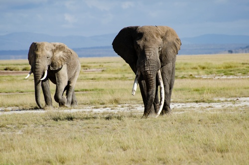 Gallery Image Big%20Ellie%20at%20Amboseli.jpg