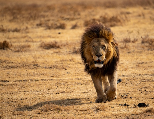 Gallery Image Ngorongoro%20Male%20Lion%20(1).jpg