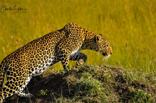 Gallery Image leopard%20crwal%20sign%20in%20top%20left6-5.jpg