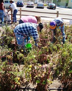 Growing Tomatoes for the Food Bank of Santa Maria