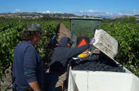 Syrah harvest at Los Alamos Vineyards