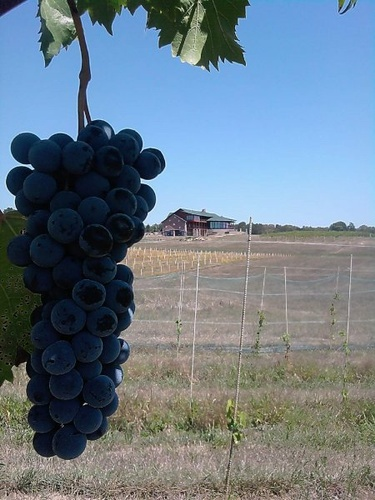Gallery Image grapes.jpg