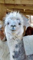 Alpaca Shack - Home Of The Shaftsbury Alpacas