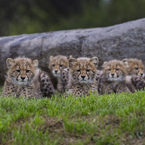 Gallery Image Six%20Sibling%20Cheetah%20Cubs.jpg