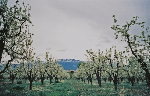 Gallery Image Pear%20Blossoms.jpg