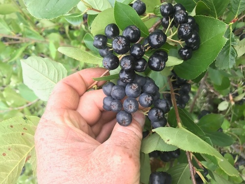 Nebraska Organic aronia berries on the bush