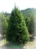 Picture of 2016 Lions Club Holiday Tree Pre-Sale