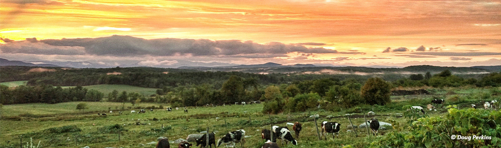 Cows_and_Sunset_2.jpg