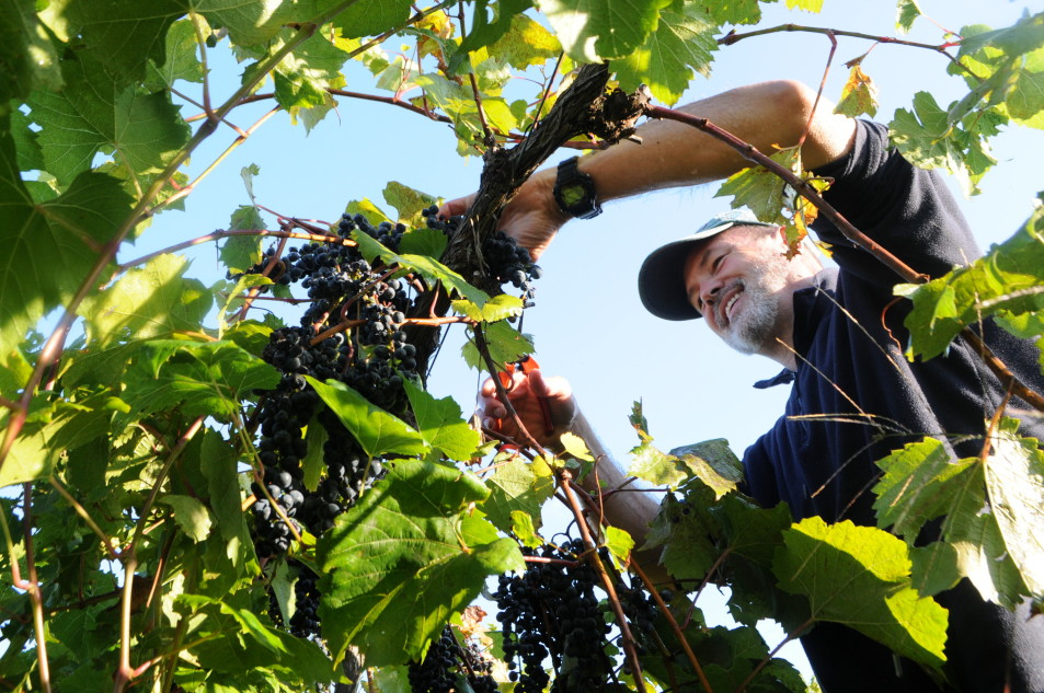 Harvesting at Lincoln Peak Vineyard, New Haven, Vermont