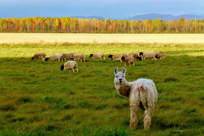 llama sheep