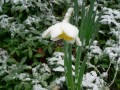 Spring Flower in Snow