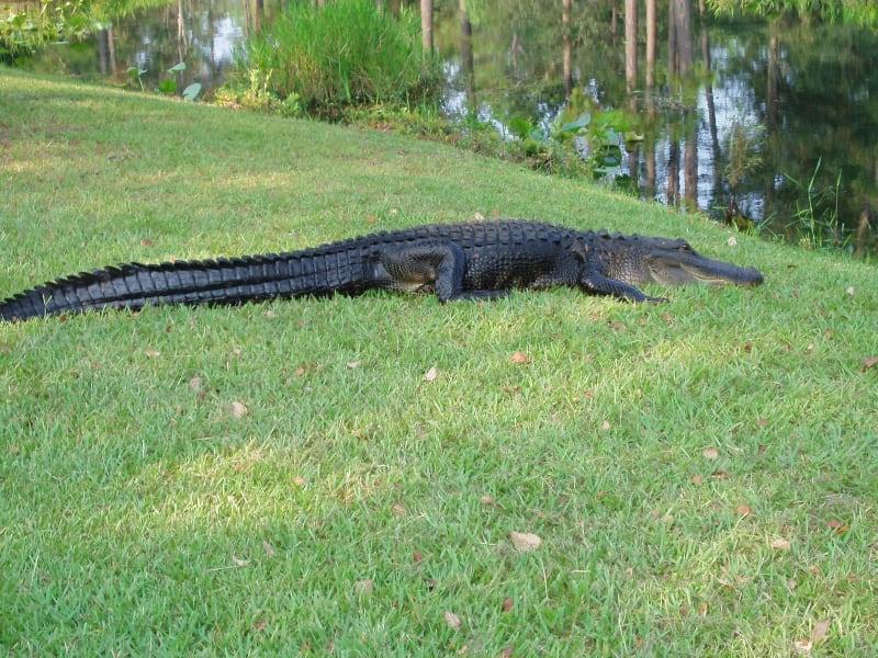 real-gator-w800.jpg