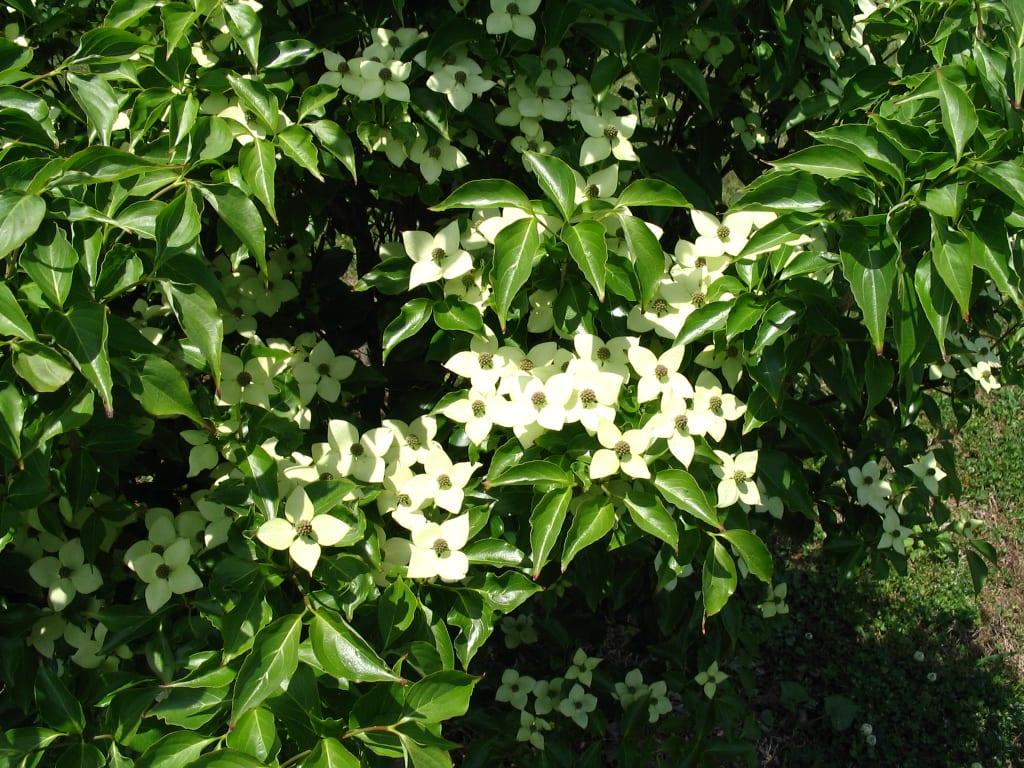 Little-Poncho-blooms-close-up.JPG-w1024.jpg