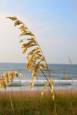 Sea Oats in Pawleys Island, SC