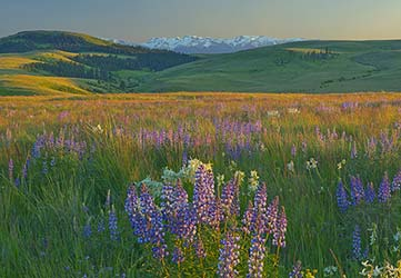 Lupines Zumwalt looking towards Wallowas