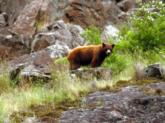 Wildlife, bear in Hells Canyon