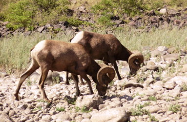 Big Horn Sheep, Hells Canyon