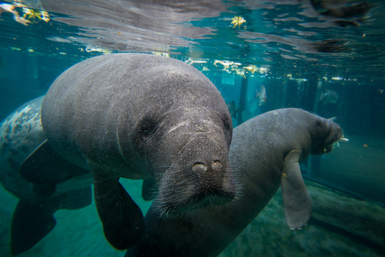 Manatees-8456---Grahm-S.-Jones.-Columbus-Zoo-and-Aquarium.jpg
